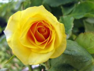 Плетущиеся розы (фото сорта Atoll'99)