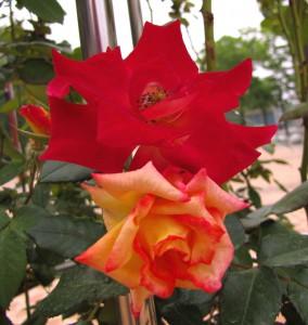 Плетущиеся розы (фото сорта Charleston)
