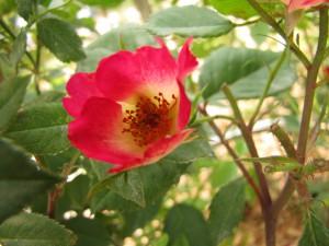 Плетущиеся розы (фото сорта Cocktail)