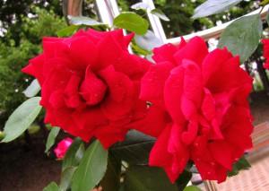 Плетущиеся розы (фото сорта Dynamite)