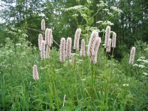 Трава горец змеиный, или раковые шейки (Polygonum bistorta)