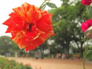 Плетущиеся розы (фото сорта Matsuri)