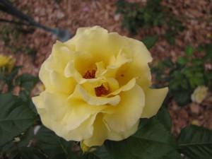Плетущиеся розы (фото сорта Evergold)