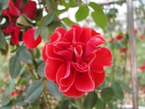Плетущиеся розы (фото сорта Orange Meillandina)