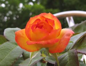 Плетущиеся розы (фото сорта Lawinia)