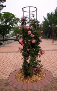 Плетущиеся розы фото сорта Lawinia