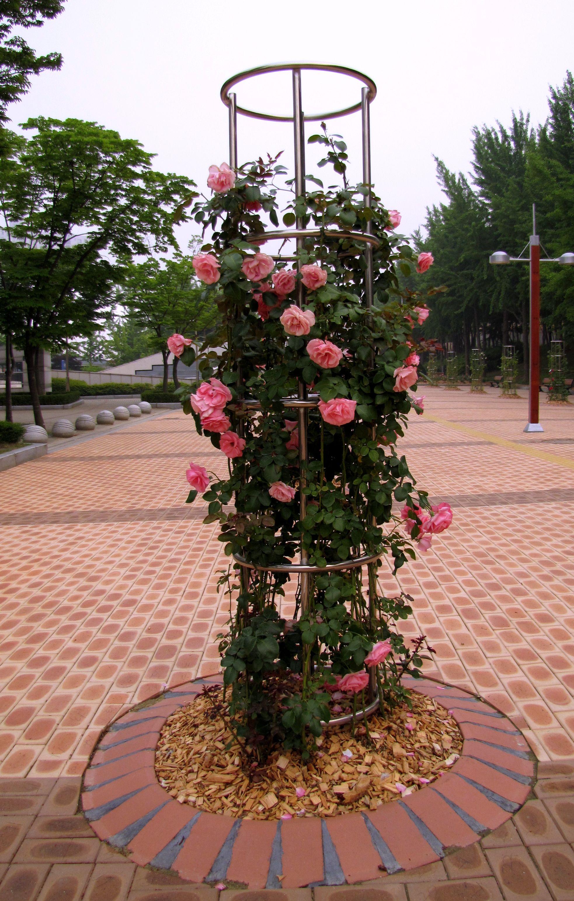 Розы плетистая многоцветковая 3