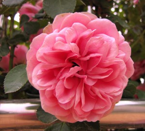 Плетущиеся розы (фото сорта Leonard da Vinci)