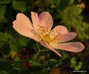 роза коричная (шиповник коричный)