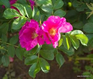 шиповник морщинистый или роза морщинистая