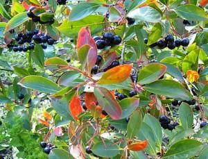 Черная арония (арония черноплодная или черноплодная рябина)