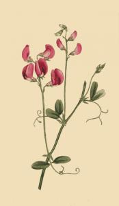Чина клубненосная или чина клубневая (Lathyrus tuberosus)