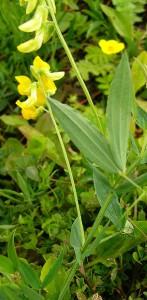 Чина луговая (Lathyrus pratensis) или полевой горошек.