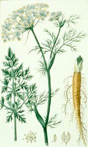 Тмин обыкновенный (Carum carvi)