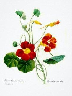 Настурция большая  или настурция вьющаяся (tropaeolum majus)