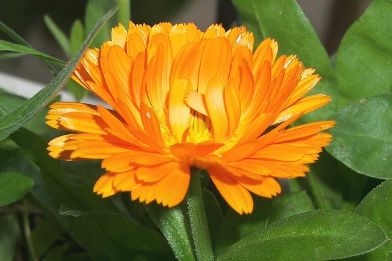 Ноготки (календула) цветки: применение в кулинарии. Салат с календулой