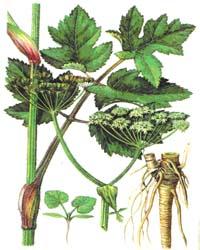Борщевик сибирский (Heracleum sibiricum) или борщевик обыкновенный