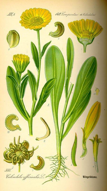 Календула аптечная (calendula officinalis) или ноготки аптечные.