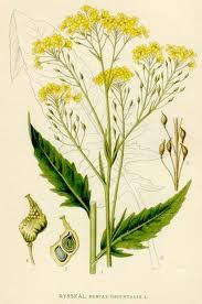 Свербига восточная (Bunias orientalis) или луговая редька