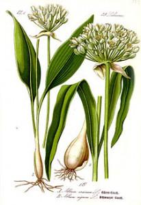 Лук медвежий (Allium ursinum) или медвежья черемша