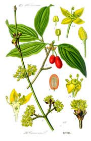 Кизил настоящий или кизил обыкновенный (Cornus mas L.)
