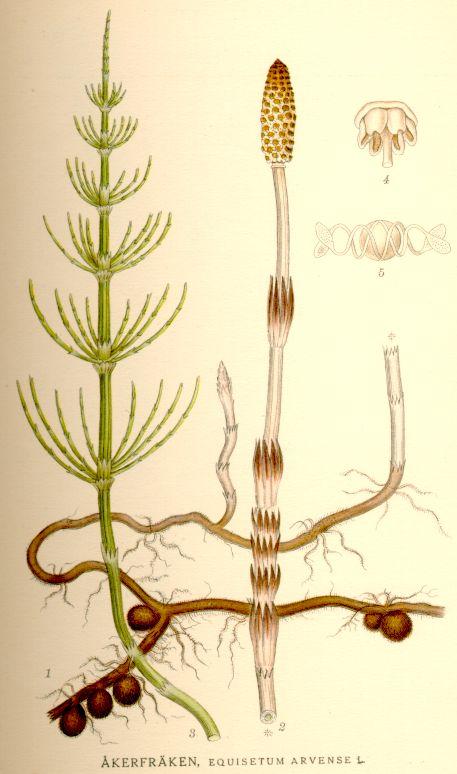 Хвощ полевой (Equisterium arvense). Побеги полевого хвоща