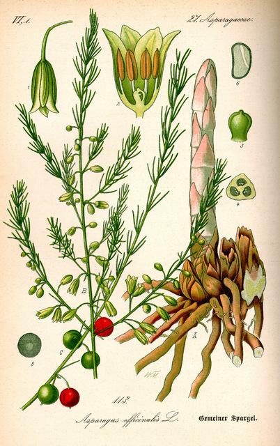 Аспарагус (спаржа лекарственная) Asparagus officinalis