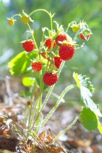 Земляника лесная (Fragaria vesca L.)