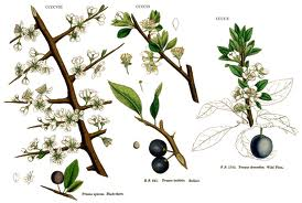 Терн колючий (Prunus spinosa) или терновник