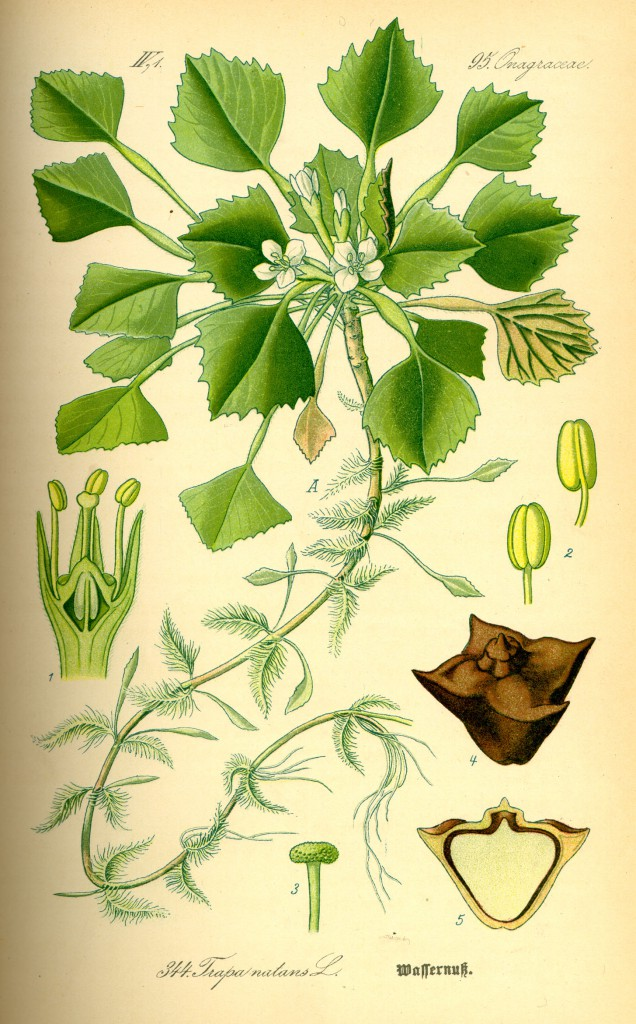 Trapa natans: водяной орех плавающий (чилим или водяной каштан)