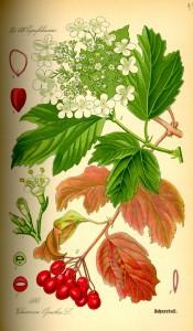 Viburnum opulus (Калина обыкновенная или калина красная)