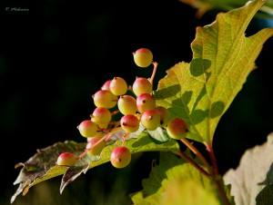 Калиновый чай и кофе из семян калины: сушеные плоды калины и семена калины в напитках