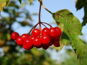 Польза ягод калины: сушеные и свежие ягоды калины