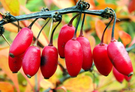 Лечебные свойства барбариса и применение барбариса в быту.