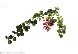 Berberis vulgaris (Барбарис обыкновенный)