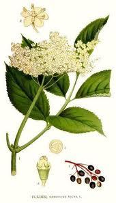 Соцветия и плоды бузины: применение в медицине и быту