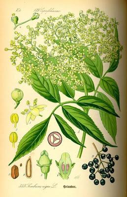 Бузина черная (Sambucus nigra L.) или бузина дикая