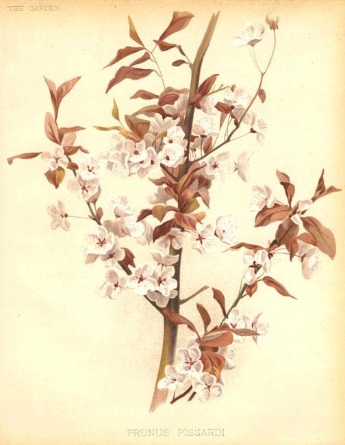 Алыча: свойства и применение алычи. Плоды алычи в быту и медицине