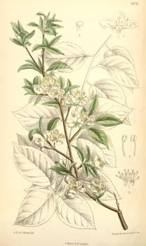 Слива растопыренная или алыча (Prunus divaricata)