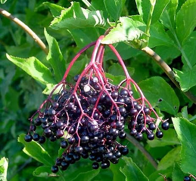 Ягоды черной бузины в заготовках: повидло и варенье из бузины