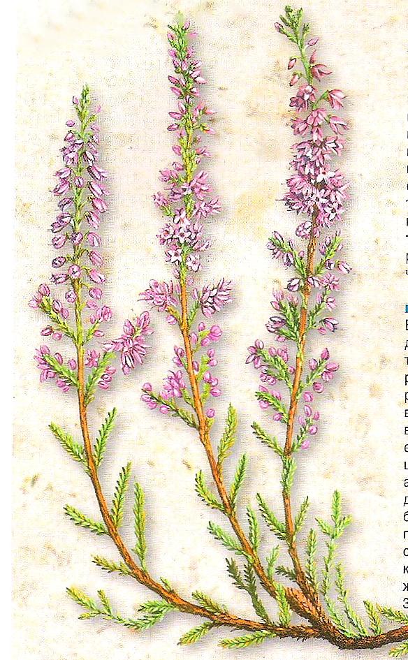 Вереск обыкновенный (calluna vulgaris) применение в медицине и быту