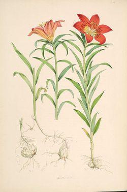 Лилия даурская (лилия пенсильванская) или саранка