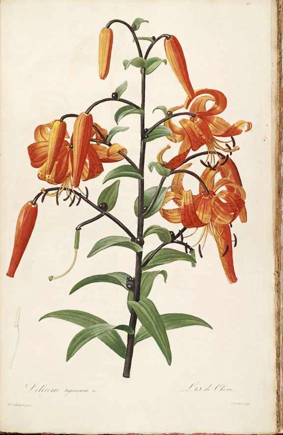 Лилия Максимовича (Lilium maximowiczii)