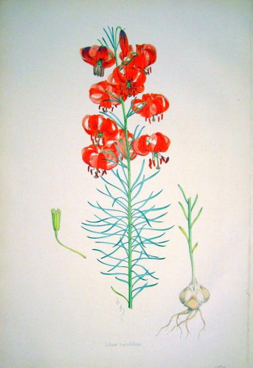 Лилия карликовая или лилия узколистная (Lilium pumilum)
