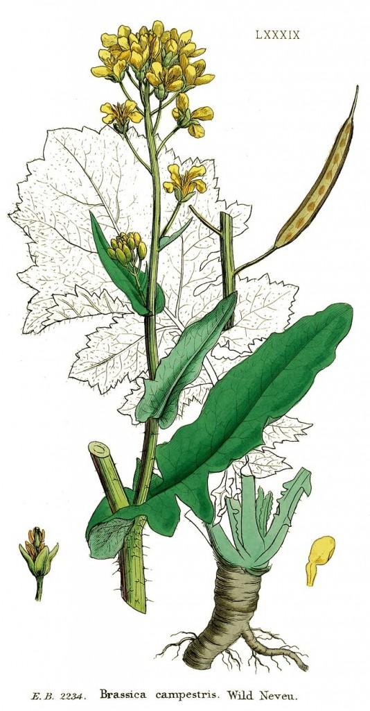 Капуста полевая (сурепица) Brassica campestris