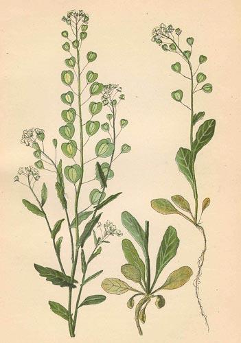 Растение ярутка полевая (Thlaspi arvense) или денежник