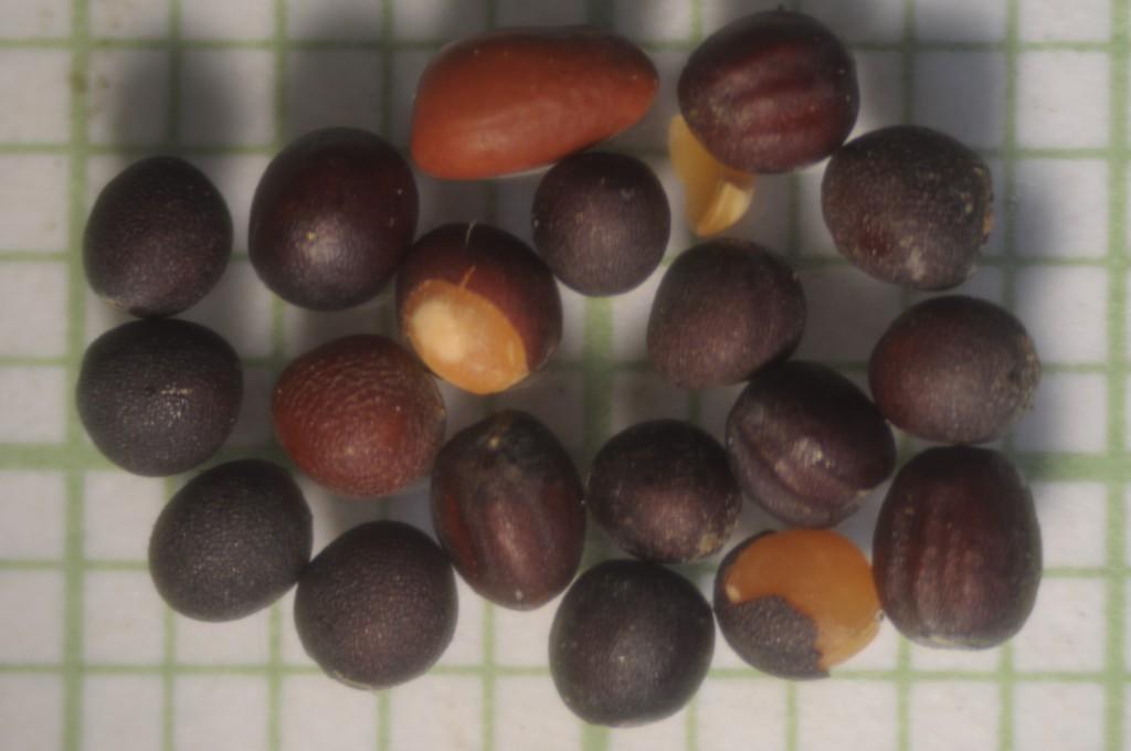 Семена сурепицы: применение в быту и медицине
